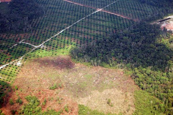 Sumatran oil palm deforestation