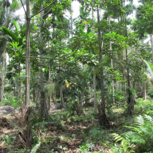 Agroforest on peat in Tanjung Jabung Barat. Photo: World Agroforestry Centre