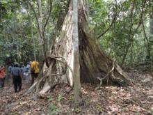 Indigenous tree in Pucallpa, Peru. REDD is a mechanism to compensate developing countries for avoided deforestation.: ASB/EKahurani